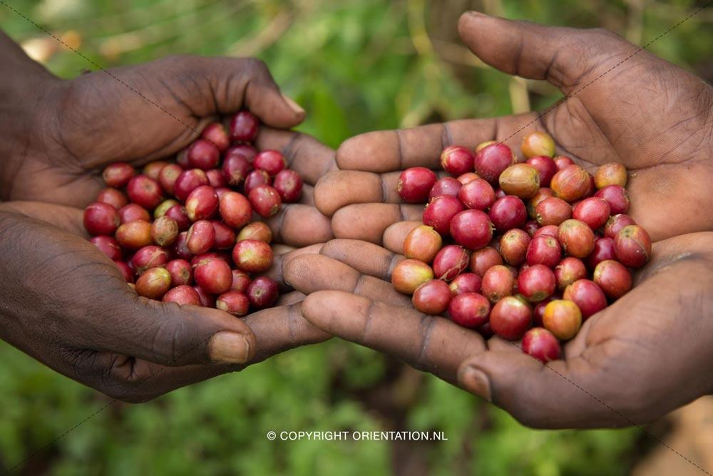 Fairtrade-Nederland-Koffie-Ethiopië-Effecten-klimaatverandering (17)