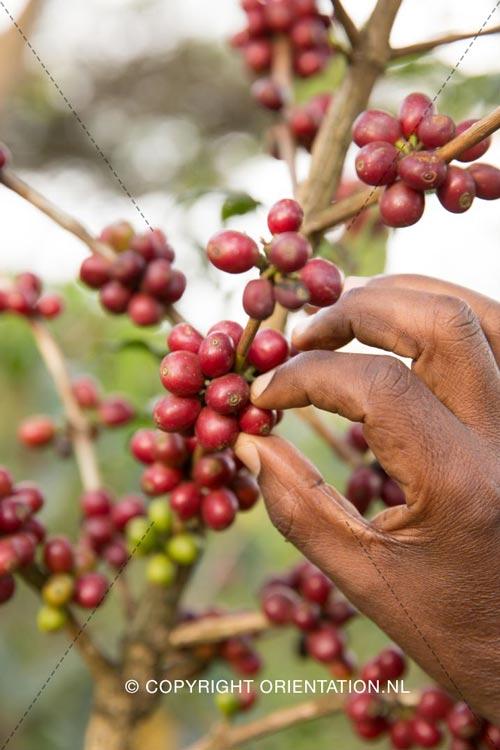 Fairtrade-Nederland-Koffie-Ethiopië-Effecten-klimaatverandering (24)