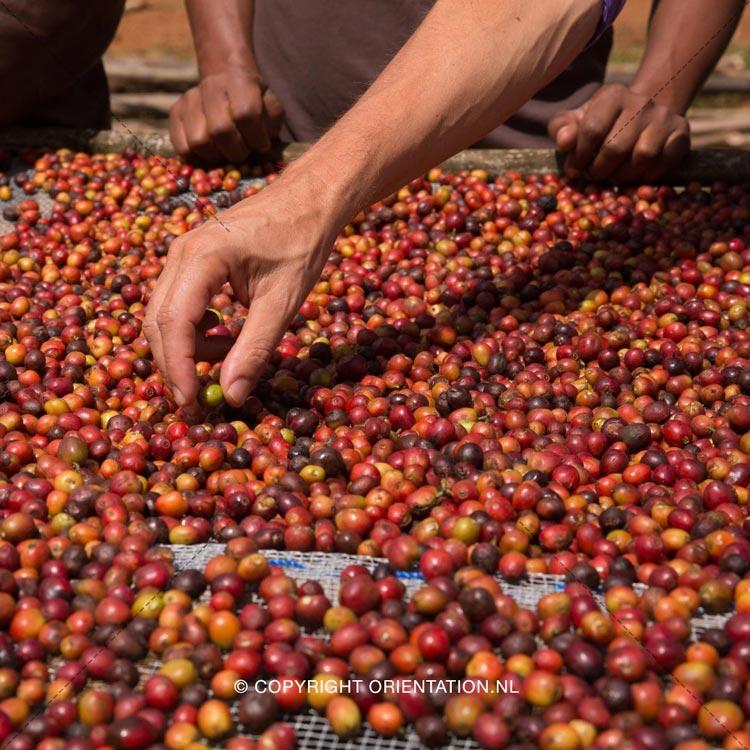 Fairtrade-Nederland-Koffie-Ethiopië-Effecten-klimaatverandering (5)