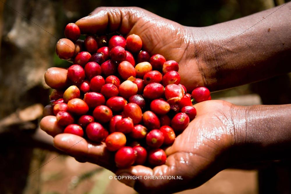 Fairtrade-Nederland-Koffie-Ethiopië-Effecten-klimaatverandering (8)