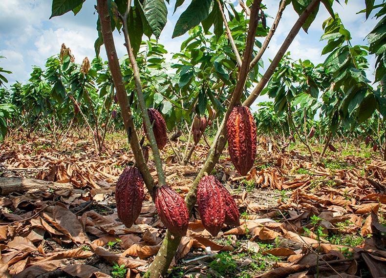 Nestlé-Cocoa-Plan_OTP_img03