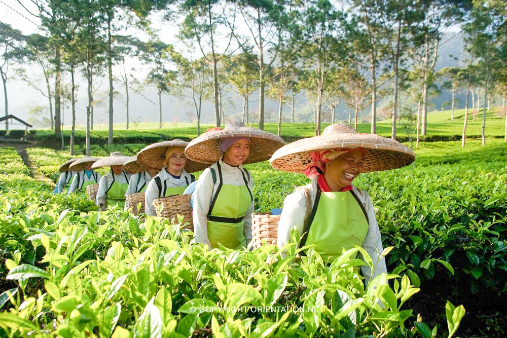 Pickwick-Fairtrade-Thee (5)